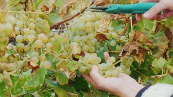 Arbeit im Weinberg. Hände mit einer Schere die Weintrauben vorsichtig abschneiden video