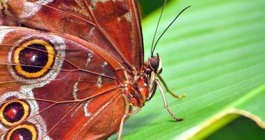 4k macro borboleta marrom de perto, antena e folha video