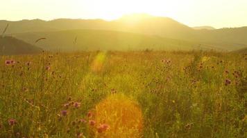 campo escénico con flores silvestres está en una puesta de sol en altay, rusia