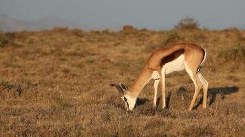 Grazing springbok antelope video