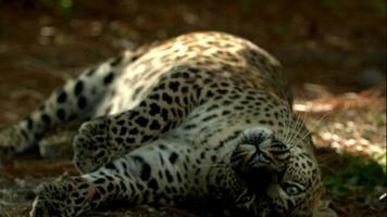 leopardo naranja rodando rascándose la espalda