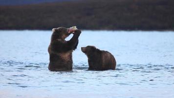 ursos comem salmão