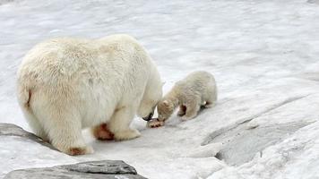 orsi polari e cuccioli di orso che si nutrono video
