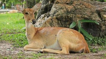 Antelopes. video