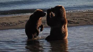 gli orsi mangiano il salmone video
