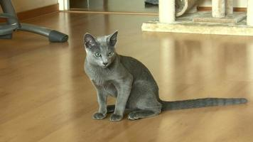 Young russian blue cat video