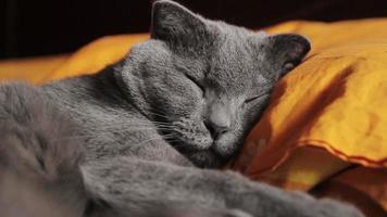 British gray cat sleeps