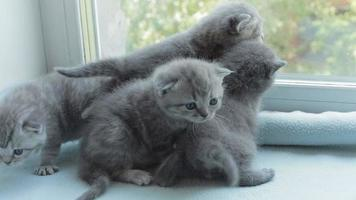 Blotched tabby kittens breed Scottish Fold video