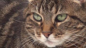 rosto de um gato malhado adulto video