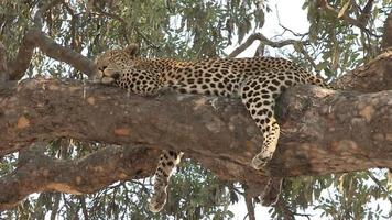 Wide shot of leopard lying on branch of a tree