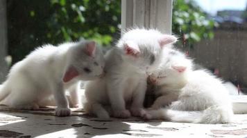 Three Small White Kittens Washes