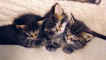 divertidos gatitos dulces durmiendo juntos