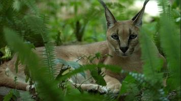 Caracal Laying in the Woods