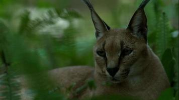 Caracal Laying in the Woods Tight Face Shot