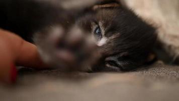 Gatito recién nacido maine coon durmiendo y se estira en su sueño