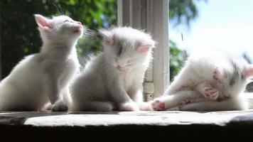 tres pequeños gatitos blancos lavados