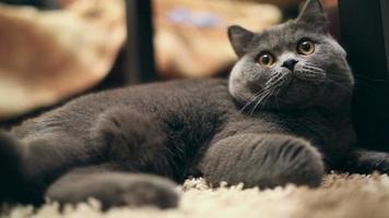gato britânico video