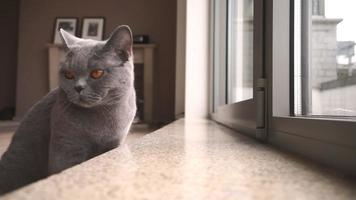 gato britânico olhando para a câmera