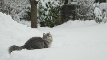 rallentatore: grande gatto a pelo lungo divertente che gioca con la neve fresca nel giardino innevato