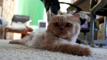 movimiento de gato persa acostarse en el suelo