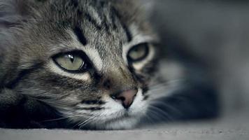 Close up muzzle of a kitten falling asleep