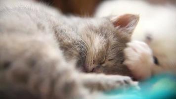pequeño gatito gris duerme otro gatito blanco jugando mordiscos