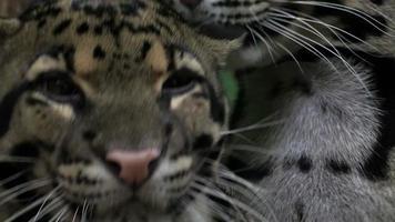 cheetah, ghepardo;