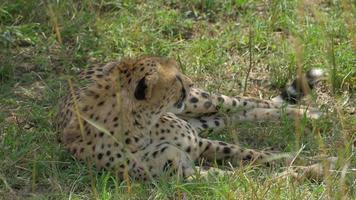 Nahaufnahme: Gepard im Schatten liegen