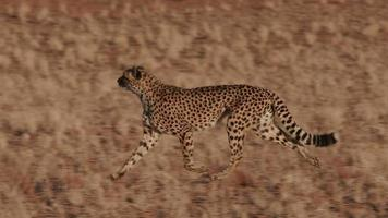 Cheetah running side on to camera in slow motion