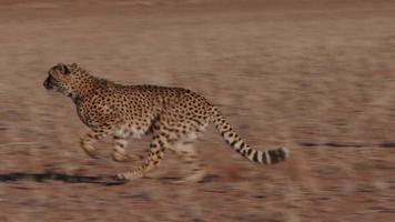 guépard sur le côté de la caméra au ralenti video