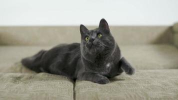 Cámara lenta de gato doméstico gris jugando en casa atrapa la bola de hilo en el aire