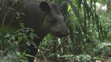 approccio a un tapiro nel loro ecosistema naturale nella foresta pluviale atlantica brasiliana. video