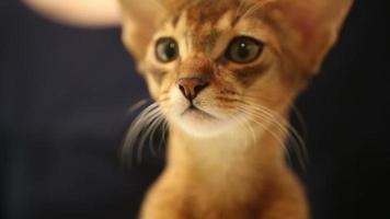 gatito abisinio. de cerca video