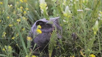 gato britânico em uma grama verde video