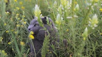 gato britânico em uma grama verde