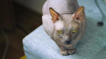 Bold funny and terrible Sphinx cat