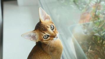 gatinho abissínio caça