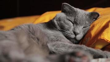 British gray cat sleeps video