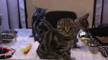 Three beautiful kittens of expensive breed playing with toys during cat show video
