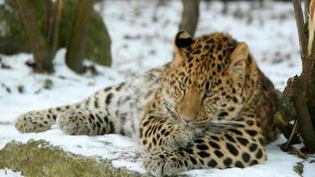 El Leopardo de Amur video