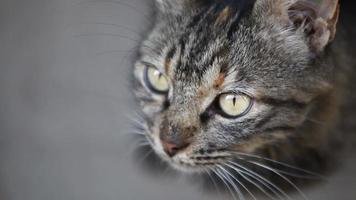 cara de gato de cerca full hd
