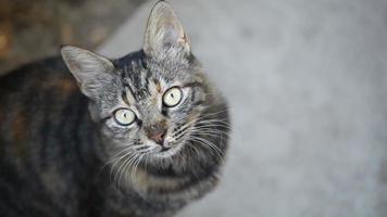 tabby cat portrait hd video