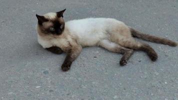 wilde siam kat liggend op het asfalt