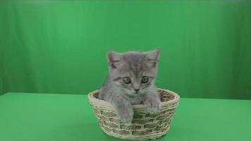 lindo gatinho scottish dobra na cesta na tela verde estoque de vídeo