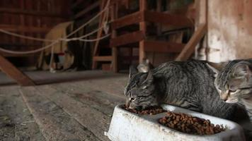 alimentación de gatos de granero