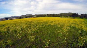 Vue aérienne de 4k survolant un champ de fleurs jaunes à basse altitude, puis montez et maintenez à la fin