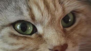 Siberian breed cat  video