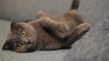 British cat video