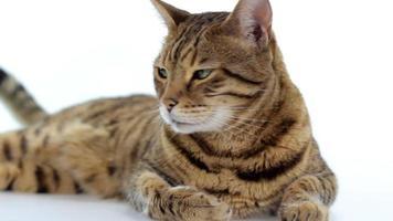 Gato de Bengala sobre fondo blanco.
