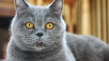 gros plan, de, rigolote, chat, figure, à, yeux jaunes, et, rose, langue, british shorthair
